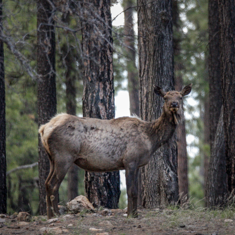Elk in Starlight Pines Ranchettes