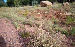Diffuse Knapweed on Morning View Dr